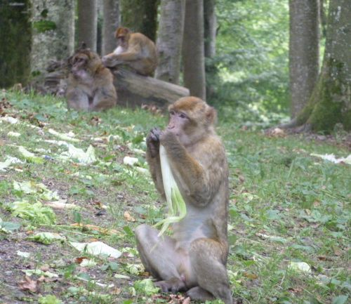 Monkey eating celery at Monkey Mountain (Affenberg), Germany