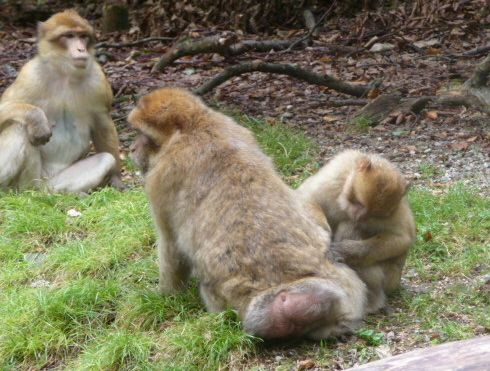 Monkey grooming another Barbary macaque while another one looks on.