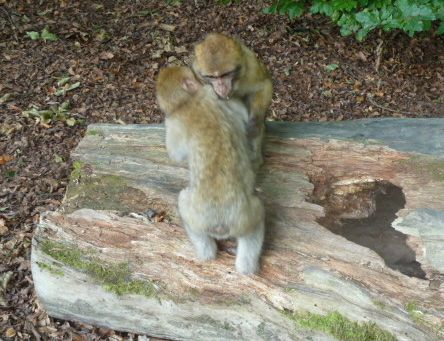 A highlight of Monkey Mountain for me was watching the adorable young ones play.