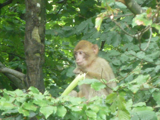 Monkey hanging out in a tree at Monkey Mountain (Affenberg), Germany