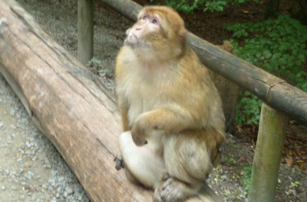 Monkey waiting for food at Monkey Mountain (Affenberg)