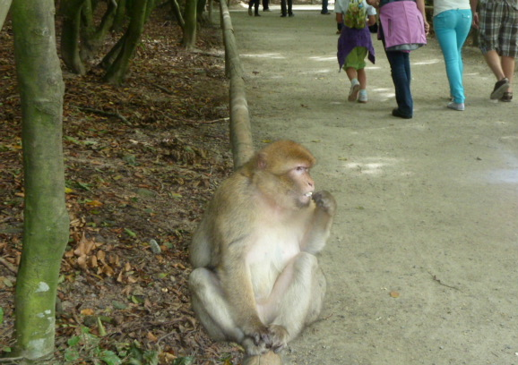 Barbary macaques can only be fed when sitting on the wooden fence.
