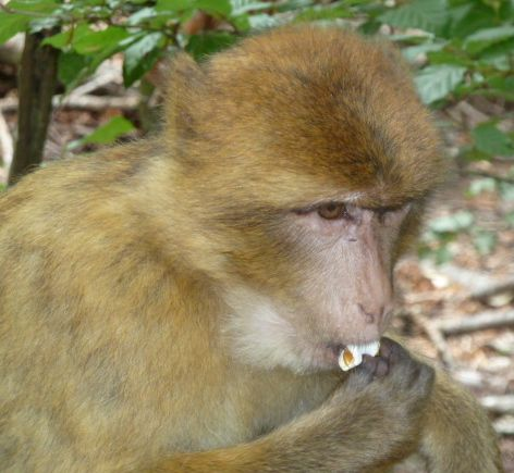 Macaque eating popcorn, one of their favorite snacks at Affenberg