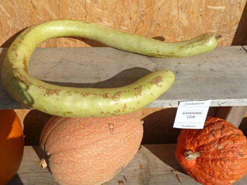 odd-shaped pumpkins