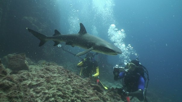 shark divers hanging out with a white-tip reef shark.
