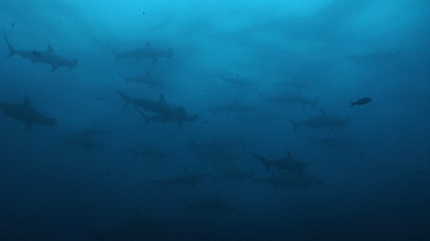 hammerhead sharks on Wolf and Darwin Islands attract shark divers.