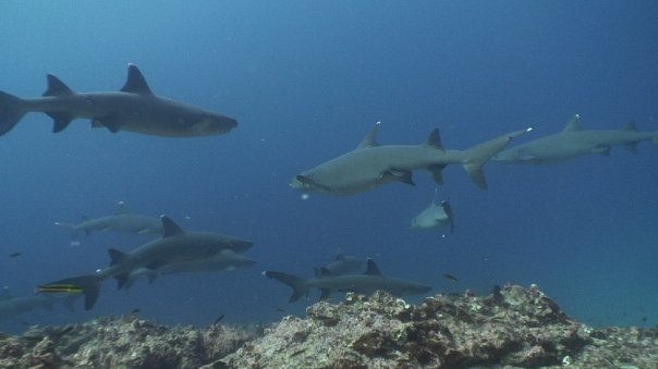 save sharks shark tourism whitetips