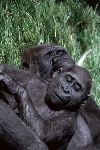 Two gorillas sleeping together.