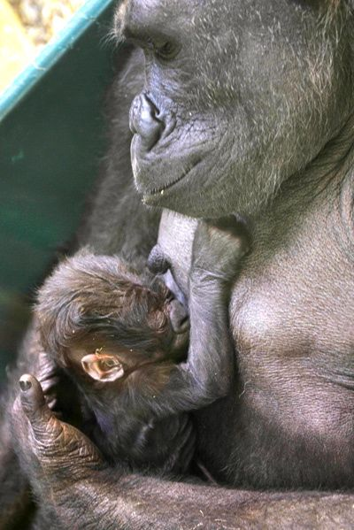 Baby gorilla and mother at the Calgary Zoo.