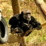 My Chimpanzee Love Affair in Girona, Spain