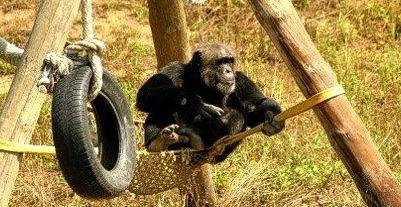 chimpanzee girona spain
