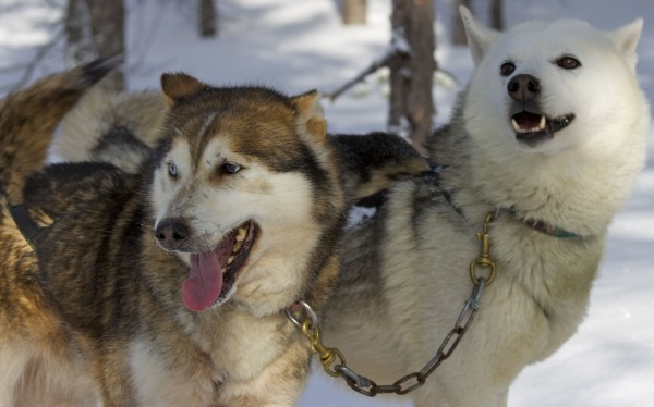 dog sledding iso syote_2 huskies