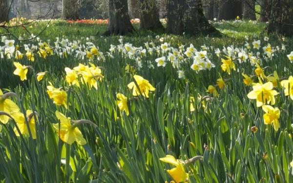 Daffodils at Blumen Insel, Mainau, Baden-Württemberg, Germany