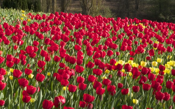 Red tulips on Blumen Insel, Mainau, Baden-Württemberg, Germany