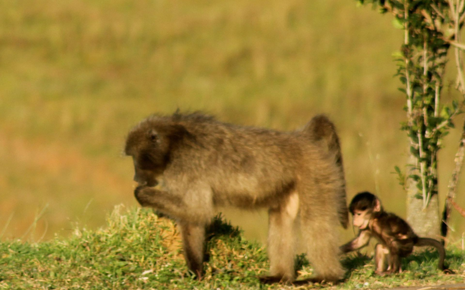 Mother baboon and baby together in South Africa