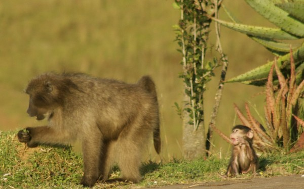 Mother baboon and baby crying, South Africa