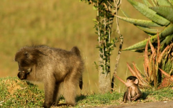 Mother and baby baboon in South Africa