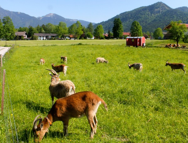tegernsee ecobike tour goats