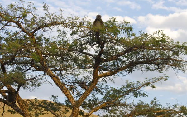 South African wildlife: Baboon in tree, South Africa