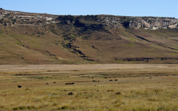 Herd of Black Wildebeest in Golden Gate National Park, South Africa