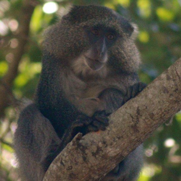 Endangered samango monkeys seen in iSimangaliso Wetland Park.