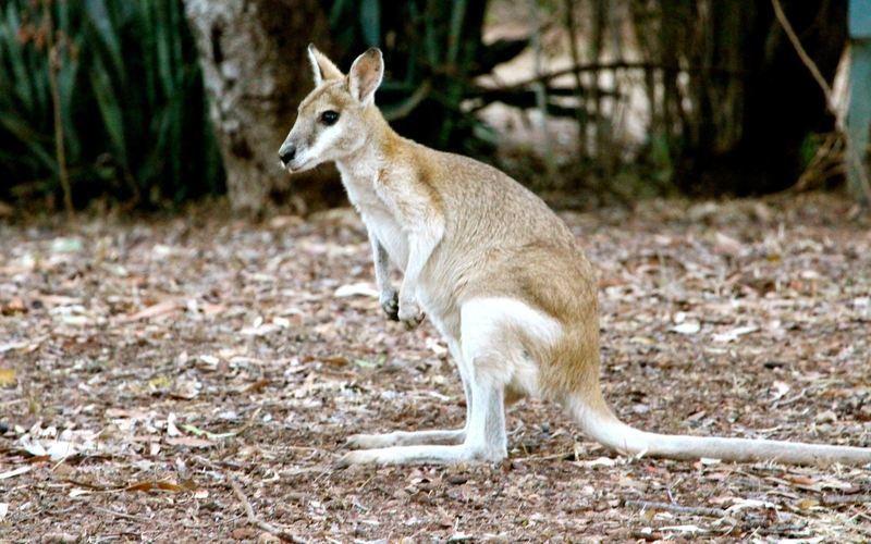 Wallaby near Nitmiluk National Park