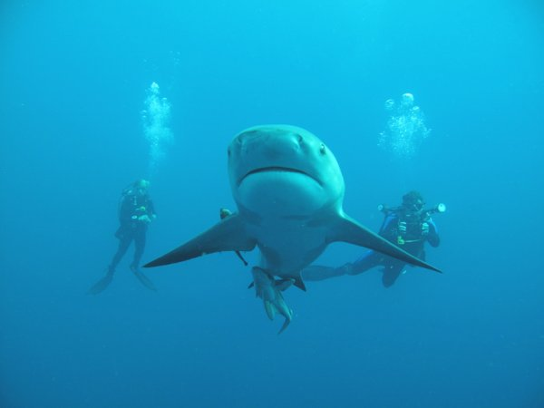 Shark diving in South Africa with Bull sharks