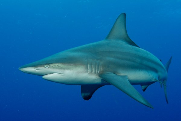 Shark diving in South Africa with Oceanic Black Tip sharks