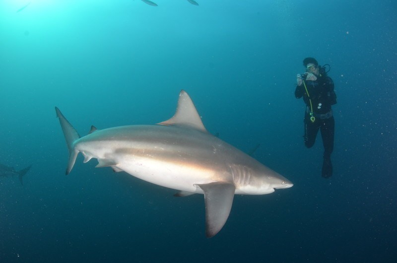 Laurel Robbins shark diving with an Oceanic Black Tip in South Africa