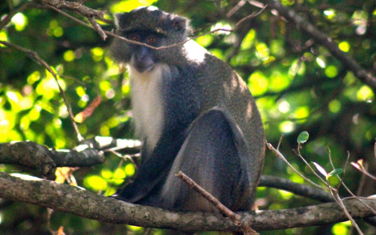 Samango monkey in iSimangaliso Wetland Park, South Africa