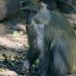 Observing Endangered Samango Monkeys in iSimangaliso Wetland Park