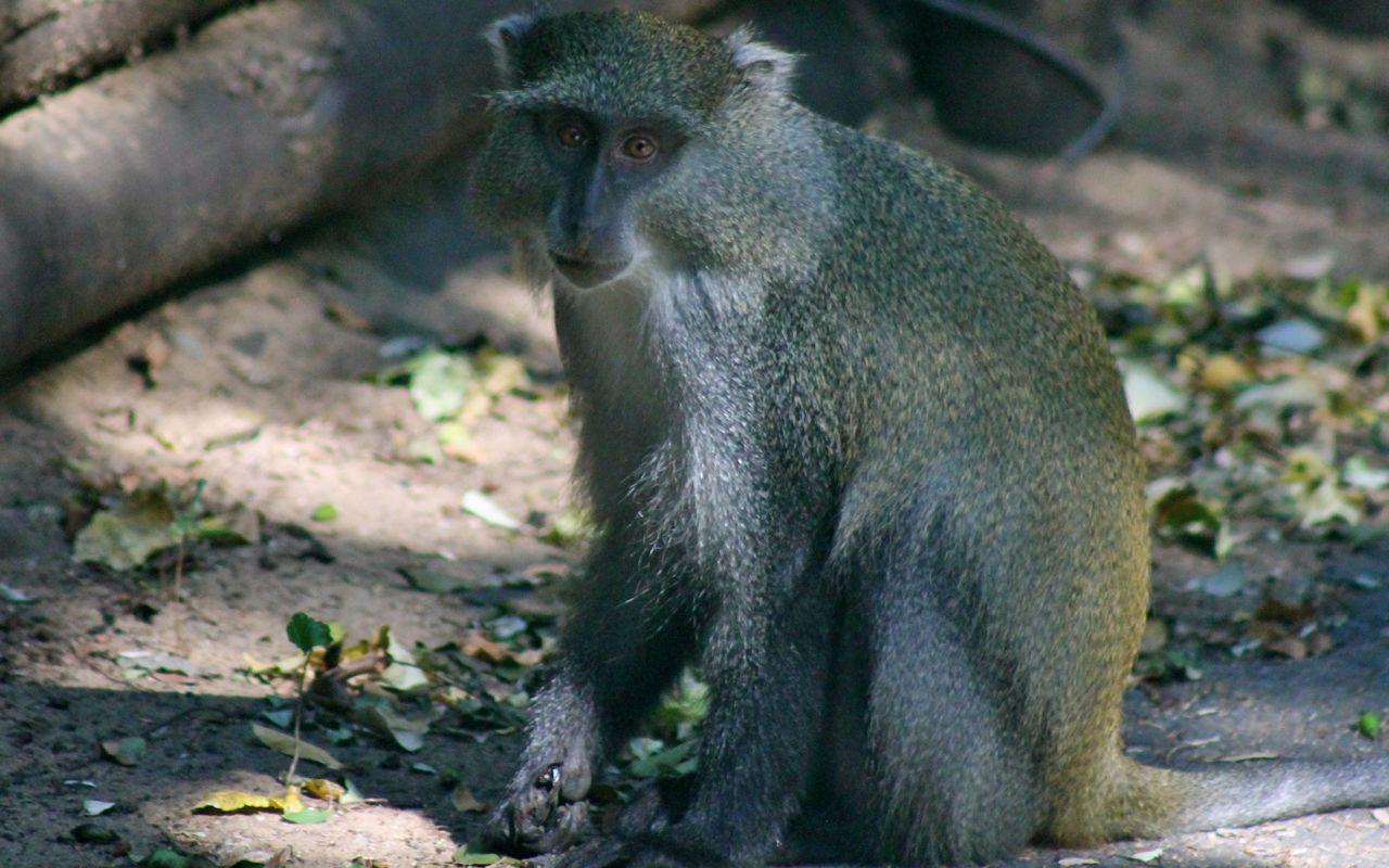 Samango monkey in iSimangaliso Wetland Park