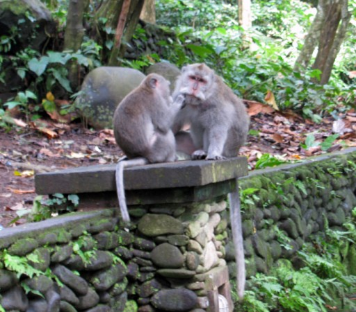 Macaques grooming each other in Ubud Monkey Forest, Bali