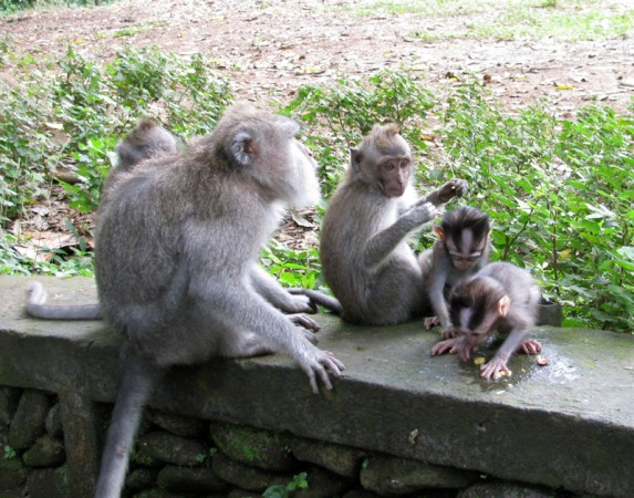 Mother and infant monkeys in Ubud Monkey Forest, Bali