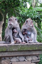 Mothers and babies in Ubud Monkey Forest, Bali