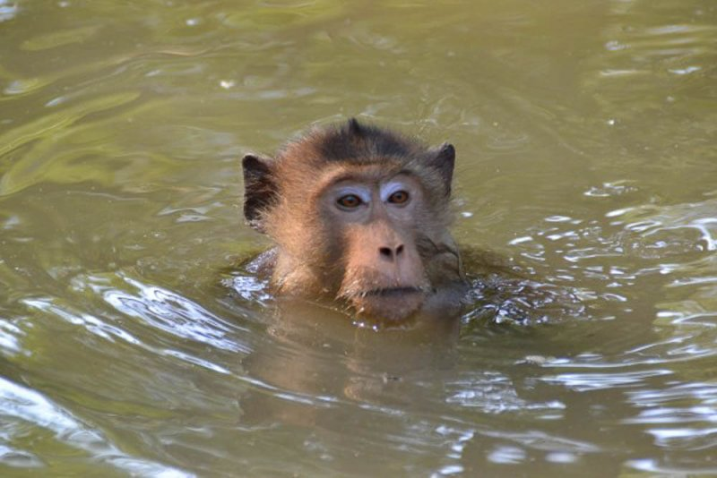 long-tailed macaque swimming in Thailand