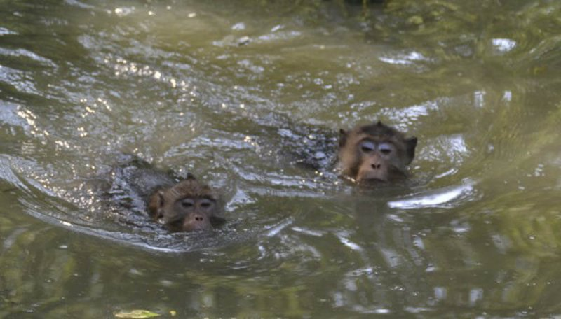 Two long-tailed macaques swimming to find crabs in Thailand