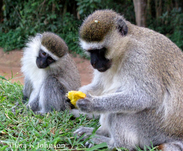 observing primates vervet monkey baboon and Taken together, these experiments argue that baboon and vervet monkeys recognize the members of their group as distinct individuals and classify these individuals into what we call matrilineal families based on their associations with each other.