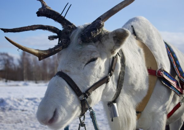 Rudolph, one of the reindeer at a reindeer farm near Iso-Syöte, Finland