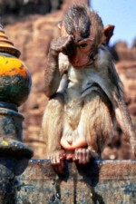 soaked_monkey_lopburi