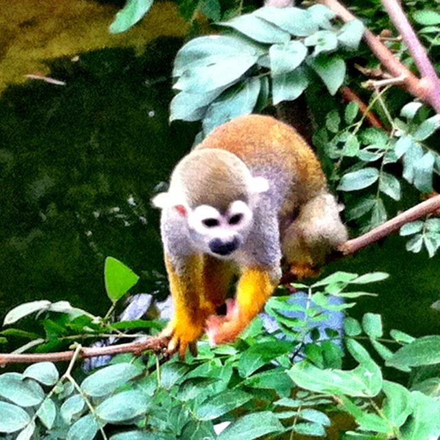 Squirrel monkey at Leipzig Zoo in Germany