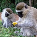 Monkey Mania:  Cheeky Vervet Monkeys in Uganda