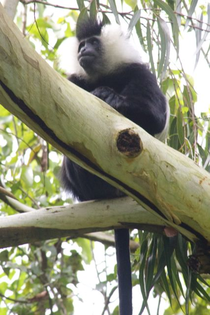 Black and white colobus monkey in Nyungwe Forest