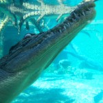 Crocosaurus Cove:  Swim with Crocs