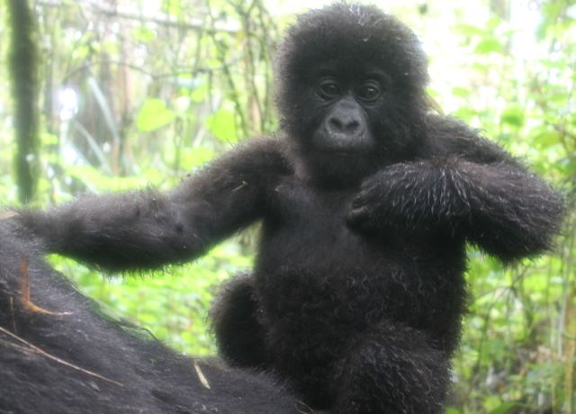 Baby mountain gorilla posing for photos in Volcanoes National Park, Rwanda