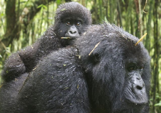 Volcanoes National Park in Rwanda is one of the few places in the world where you can observe mountain gorillas in the wild.