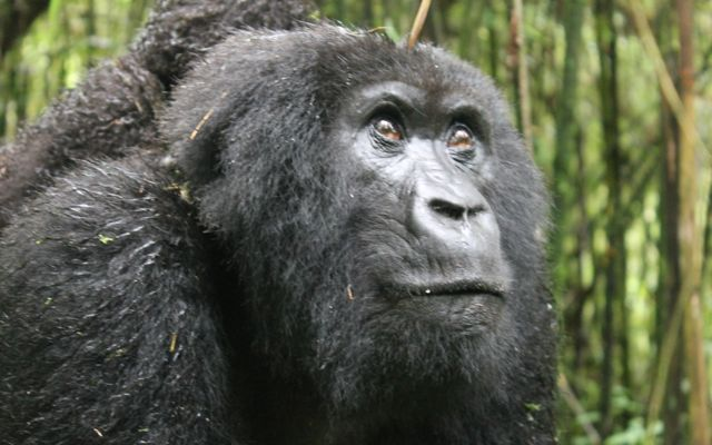 mother mountain gorilla in Volcanoes National Park in Rwanda