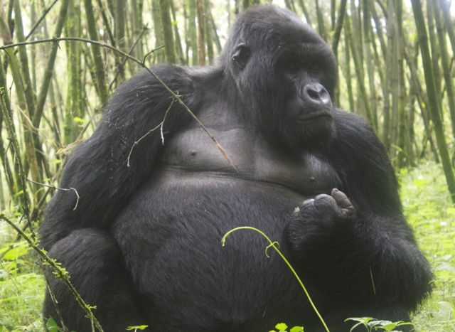 Silverback mountain gorilla in Volcanoes National Park