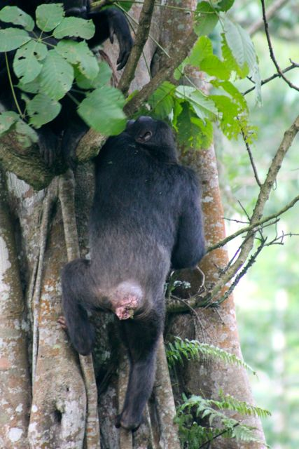 Chimp climbing up a tree in Nyungwe Forest, Rwanda