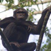 30 year old male chimp in Nyungwe Forest Rwanda